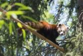 Kis panda érkezett a Nyíregyházi Állatparkba