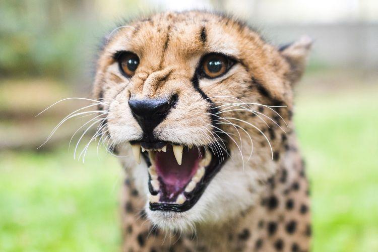 Gepárdokat kapott a Nyíregyházi Állatpark